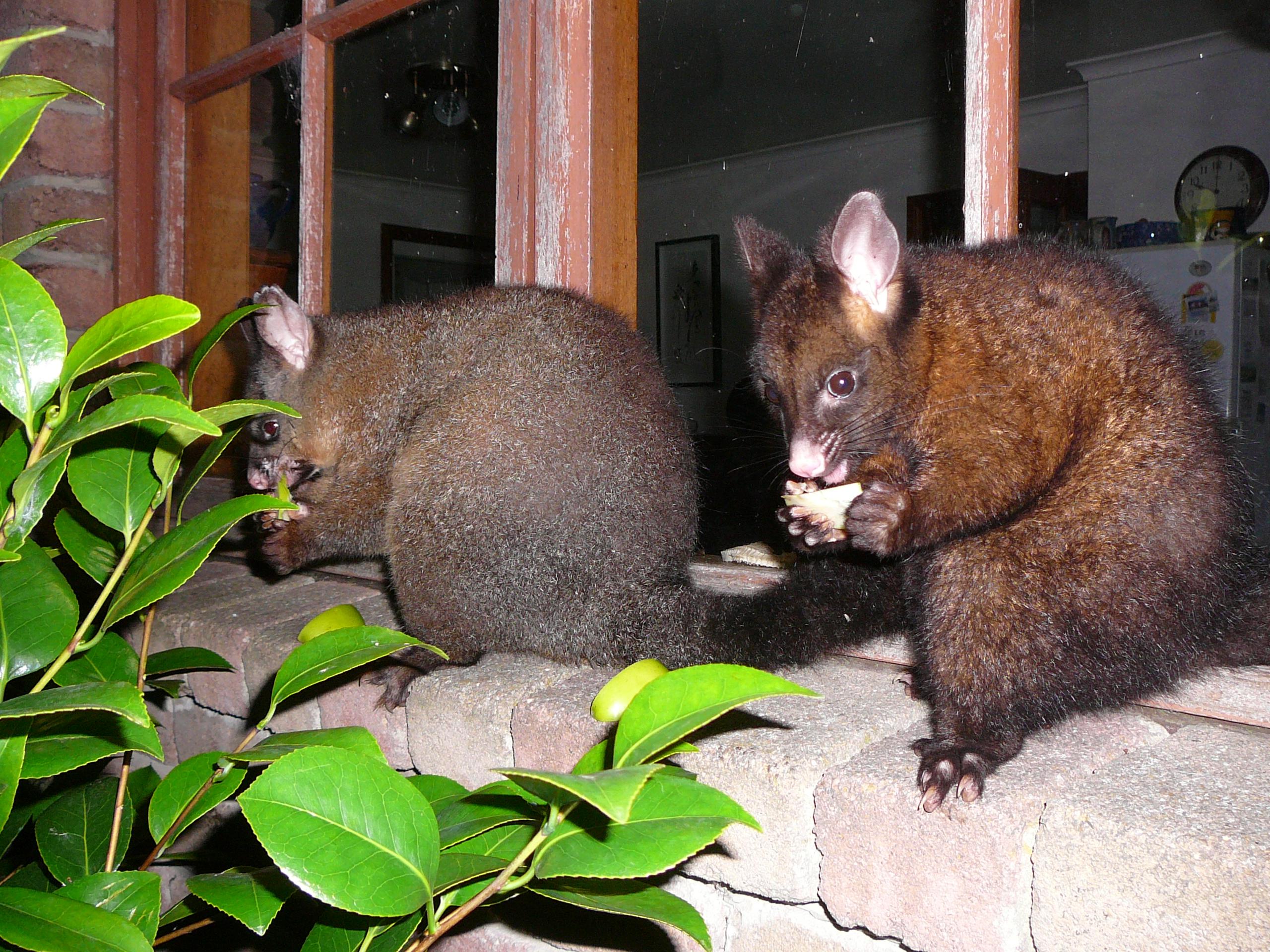 Animals1 Marsupials Wind Song BnB Tasmania